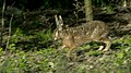 Lepus europaeus 02(js) Lodz (Poland).jpeg