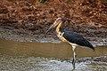 Lesser Adjutant (Leptoptilos javanicus) @ Kumana National Park.jpg
