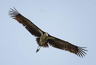 Lesser adjutant - in flight at Sundarban, West Bengal