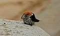 Lesser Striped Swallow (Hirundo abyssinica) (6012360958).jpg