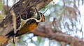 Lesser flameback at IIT Delhi.jpg