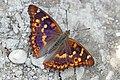 Lesser purple emperor (Apatura ilia ilia f. clytie) 2.jpg