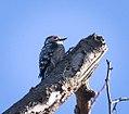 Lesser spotted woodpecker (33789304146).jpg