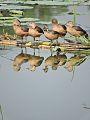 Lesser whistling ducks, Dhanas Lake, Chandigarh, India.jpg