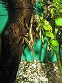 Lethocerus deyrollei1.jpg