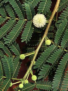 Leucaena leucocephala.jpg