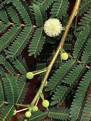 Weißkopfmimose (Leucaena leucocephala), gefiederte Blätter und kugelige Blütenstände