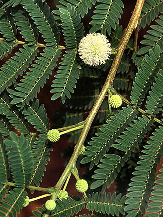 Mimosoideae - The lead tree, Leucaena leucocephala, is used for fiber and livestock fodder.