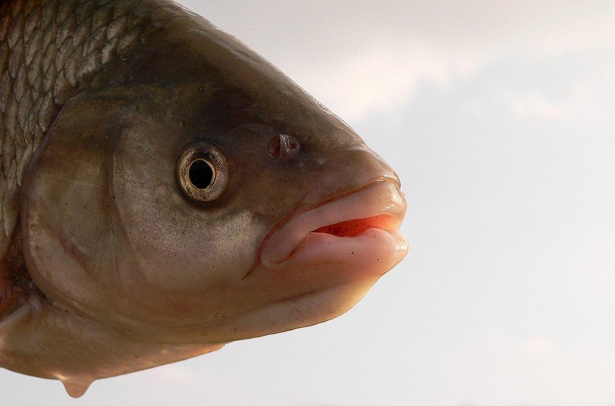 Aland fisch wikipedia for Suche teichfische