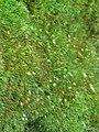 Leucobryum glaucum - Flickr - pellaea (1).jpg