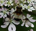 Leucozona lucorum (female) - Flickr - S. Rae (6).jpg