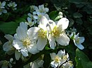 Lewis's Mock-orange NFUW - Umatilla NF Oregon.jpg