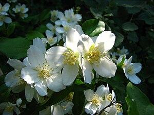 Philadelphus lewisii - Flowers
