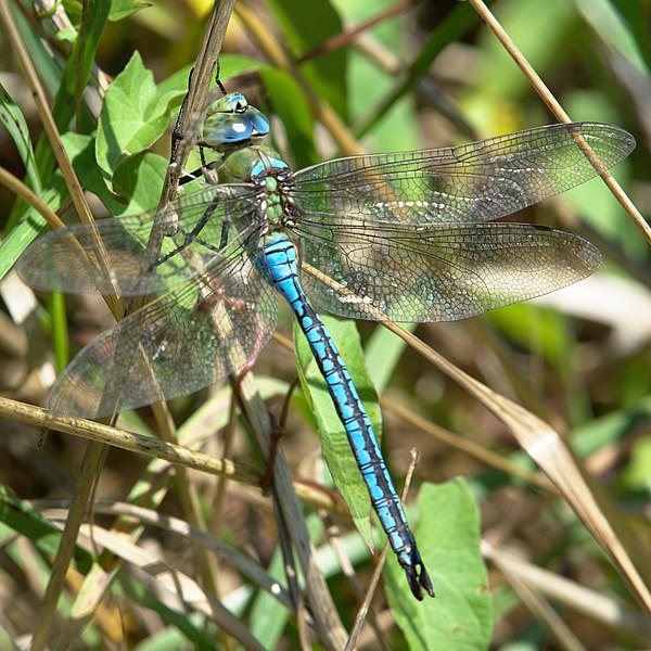 File:Libélula Azul Blue Dragonfly 2 (222852117).jpeg