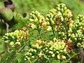 Libidibia coriaria - Divi-divi Tree - Caesalpinia coriaria - WikiSangamotsavam 2018, Kottappuram, Kodungalloor (17).jpg