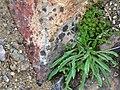 Lichen (d2b29594729f4e9bb1a08eef2f93ff06).JPG