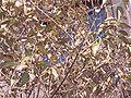 LigustrumLucidumBerries.jpg