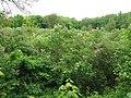 Lilac grove, Dykanskyi Landscape Park (10.05.19) 04.jpg