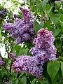 Lilacs (2546637127).jpg