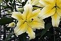 Lilium Conca dOr 6zz.jpg