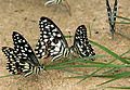 Lime Butterfly (Papilio demoleus) with Spot Swordtail (Graphium nomius ) W IMG 0286.jpg