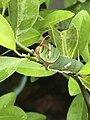 Lime caterpillar.jpg