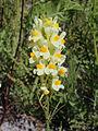 Linaria vulgaris Oulu, Finland 26.06.2013 img 2.jpg