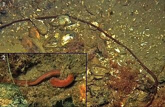 Nemertea - Lineus longissimus in Grevelingen