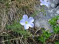 Linum alpinum01.jpg