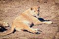 Lioness Relaxing (17386470370).jpg
