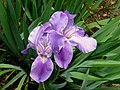 Lirio morado - Lirio común - Cárdeno (Iris germanica) (14367943754).jpg