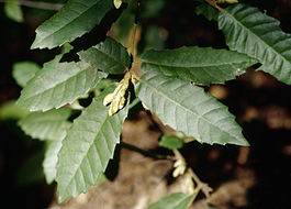 Lithocarpus densiflorus leaves1.jpg