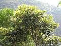 Litsea floribunda-1-upper kothaiyar-tirunelveli-India.jpg
