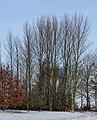 Locatie, De Famberhorst. Zwarte populieren (Populus nigra) 02.jpg