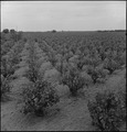 Lodi, California. The scene in this vineyard was taken three days prior to evacuation of residents . . . - NARA - 537625.tif