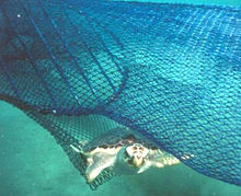 A loggerhead sea turtle escapes a circular fisherman's net via a TED