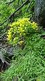 Lomatium brandegeei 1.jpg