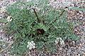 Lomatium canbyi GotBot 2015 002.JPG