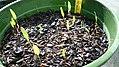 Lomatium nudicaule seedlings in nursery.jpg