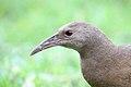 Lord Howe Island Woodhen (Gallirallus sylvestris) (26407727469).jpg