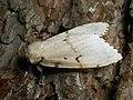 Lymantria dispar ♀ - Gypsy moth (female) - Непарный шелкопряд (самка) (39979996925).jpg