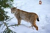 Lynx Nationalpark Bayerischer Wald 01.jpg