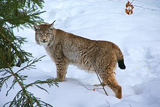 Histoire du Lynx en Suisse dans LYNX 320px-Lynx_Nationalpark_Bayerischer_Wald_01