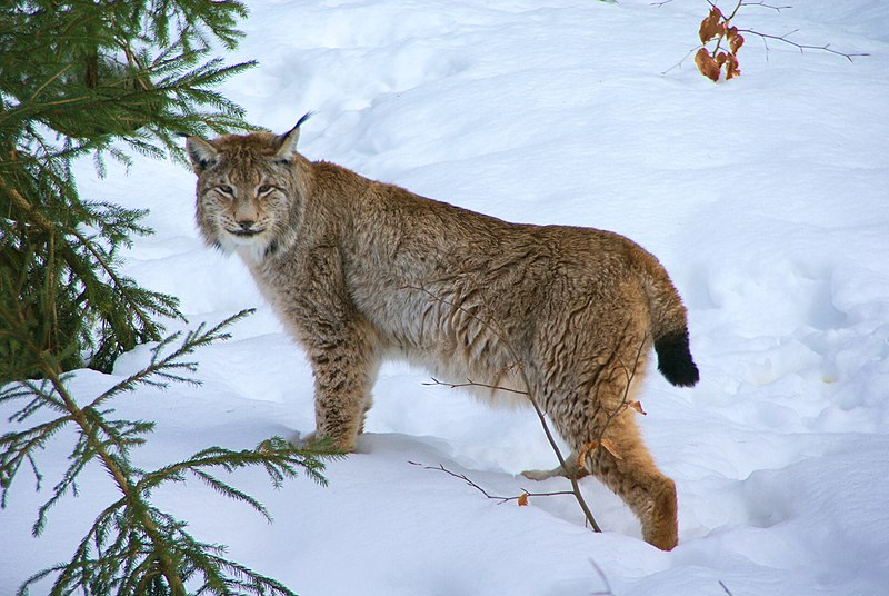 File:Lynx Nationalpark Bayerischer Wald 01.jpg