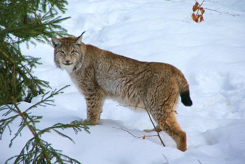Lynx Nationalpark Bayerischer Wald 01