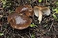 Lyophyllum decastes (31511700208).jpg