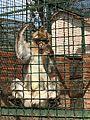 Macaca - Macaque - قرد المكاك photo1.jpg