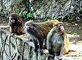 Macaca mulatta in Qianling Mountain, Guiyang (2005-04-26).jpg