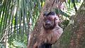 Macaco Prego.jpg