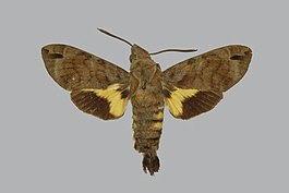 Macroglossum alcedo BMNHE813467 male up.jpg